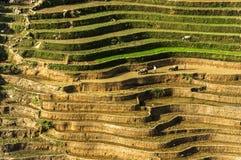 Un agricoltore sul giacimento del riso nel Vietnam Immagine Stock