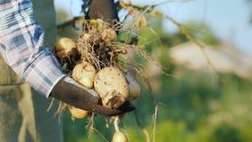 Un agricoltore tiene un grande cespuglio delle patate, scavato appena dalla terra archivi video