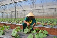 Un agricoltore vietnamita sta lavorando nella sua azienda agricola a alta tecnologia per coltivare le verdure nel Vietnam Immagine Stock Libera da Diritti