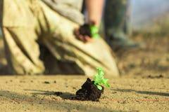 Un agriculteur coud la laitue dans le sol d'une serre chaude Photos libres de droits