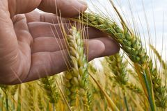 Un agriculteur Inspects Winter Wheat Image libre de droits