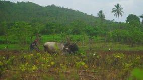 Un agriculteur labourant un champ par taureaux sur le champ parmi la forêt verte banque de vidéos