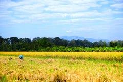un agriculteur moissonnant le riz Photographie stock