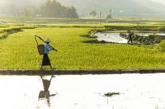 Un agriculteur sur le gisement de riz au Vietnam images libres de droits