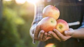 Un agriculteur tient plusieurs pommes mûres images libres de droits