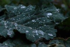 Un agua cae en la hoja de la col Una hoja verde oscuro de la col Gotas de agua en la hoja joven de la col Gotas de agua macras fotografía de archivo libre de regalías