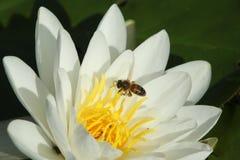 Un agua Lily Nymphaeaceae y Honey Bee Apis que vuela a la flor al néctar Imagen de archivo libre de regalías