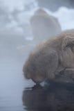 Consumición japonesa del mono de la nieve Fotos de archivo libres de regalías