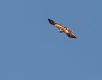 Un aigle amorcé dans le vol rapide Photographie stock