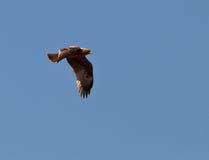 Un aigle amorcé en vol Image stock