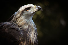 Un aigle captif Image stock