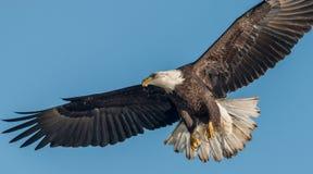 Un aigle chauve image libre de droits
