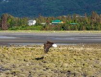 Un aigle chauve en vol à marée basse photo stock