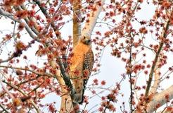 Un aigle chauve méridional américain - juvénile Photo stock