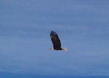 Un aigle chauve montant Photo stock