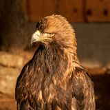 Un aigle d'or Image stock