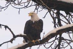 Un aigle dans le froid photographie stock