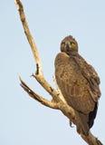 Un aigle martial de repos photographie stock