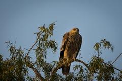 Un aigle ou un plan rapproch? imp?rial oriental agressif de heliaca d'Aquila au jorbeer images libres de droits