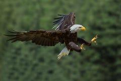 Un aigle qui prend une proie Image libre de droits