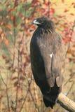 Un aigle repéré plus grand image libre de droits