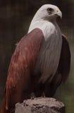 Un aigle restant et regardant bravement Photos libres de droits