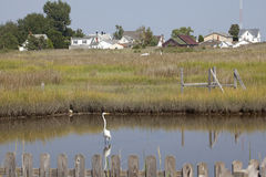 Un airone, baia di Chesapeake Immagine Stock