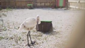 Un airone con la sua condizione aperta del becco in un campo di erba lunga L'airone bianco ha aperto il suo becco video d archivio