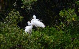 Un airone di due bianchi su esposizione Fotografie Stock Libere da Diritti