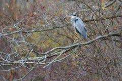 Un airone di grande blu che Roosting in un albero Fotografie Stock Libere da Diritti