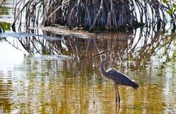 Un airone di grande blu su Marsh Trail in Florida ad ovest del sud fotografie stock libere da diritti