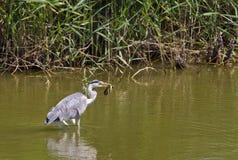 Un airone grigio cattura un'anguilla Fotografia Stock