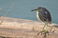 Un airone striato della mangrovia (corpi striati di Butorides) anche conosciuto come Mang Fotografia Stock Libera da Diritti