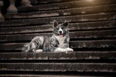 Un Akita feliz miente en las escaleras con su lengua que se pega hacia fuera fotografía de archivo