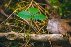 Un ala joven del arbusto de fresa con las nuevas hojas verdes claras Fotografía de archivo libre de regalías