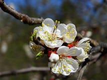 Un albaricoquero floreciente Fotos de archivo libres de regalías