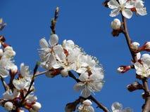 Un albaricoquero floreciente Imagen de archivo libre de regalías