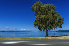 Un albero accanto al lago Taupo, isola del nord della Nuova Zelanda Fotografia Stock