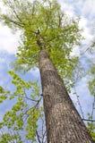 Un albero alto nel parco Fotografia Stock Libera da Diritti