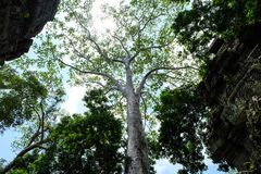 Un albero bianco enorme e molto alto che sta fra le pareti decorate del tempio Fotografie Stock Libere da Diritti