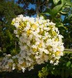 Un albero che fiorisce in Luisiana Fotografia Stock Libera da Diritti