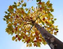 Un albero con differenti foglie variopinte nella caduta Immagini Stock Libere da Diritti