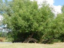 Un albero con un'esposizione dispari della radice fotografie stock