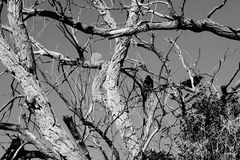 Un albero con i corvi Immagini Stock Libere da Diritti