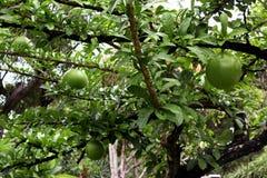 Un albero con i grandi frutti fotografia stock libera da diritti