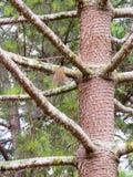 Un albero con il tronco con i branchs Immagine Stock Libera da Diritti