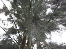 Un albero con l'ago assottiglia le foglie immagine stock libera da diritti