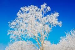 Un albero con la brina ed il cielo blu Immagini Stock