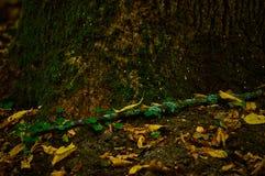 Un albero coperto di muschio nella foresta Fotografia Stock