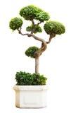 Un albero dei bonsai dentro isolato su un bianco Fotografia Stock Libera da Diritti
